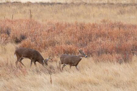 Whitetail Deer Bucks in the Fall Rut
