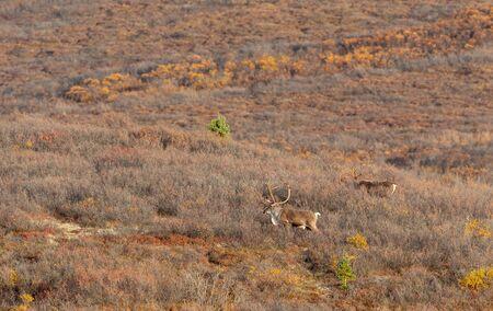 Barren Ground Caribou Bulls in Fall