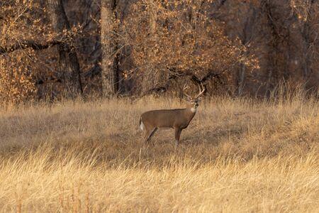 Whitetail Deer Buck in Autumn Banco de Imagens