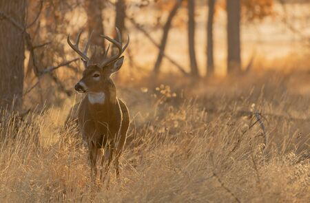 Buck Whitetail Deer in Colorado in Autumn Banco de Imagens