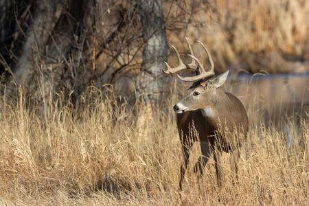 Buck Whitetail Deer in Fall