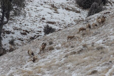 Bighorn Sheep in Winter in Wyoming
