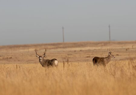 Whitetail and Mule Deer Buck During the Fall Rut 版權商用圖片