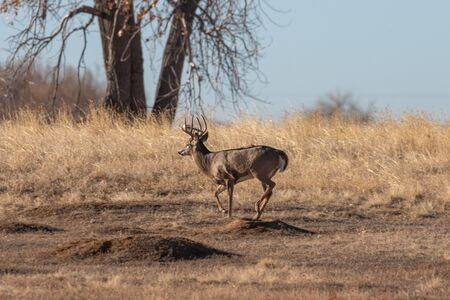 Rutting Whitetail Deer Buck in Fall 版權商用圖片