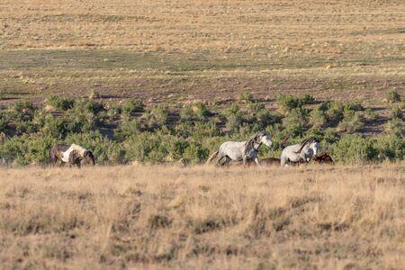 Wild Horses in Spring in the Utah Desert