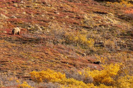 Grizzly Bear Sow and Cubs in Alaska in Autumn Banque d'images