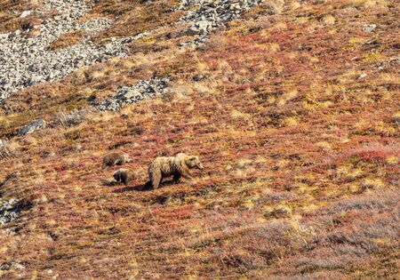 Grizzly Bear Sow and Cub in Alaska in Autumn