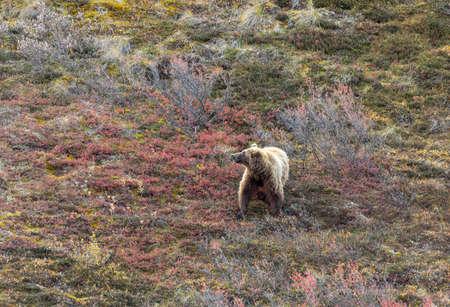 Grizzly Bear in Alaska in Autumn