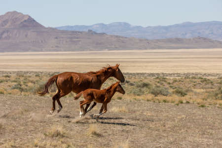 Wild Horse Mare and Foal in Utah in Spring