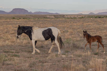 Wild Horse Mare and Foal in Utah