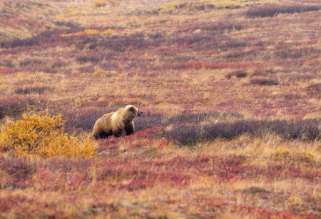 Grizzly Bear in Fall in Alaska
