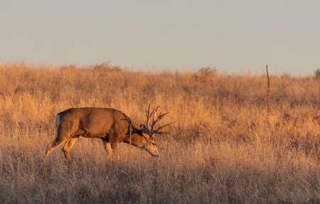 Mule Deer Buck in Colorado in Autumn Banco de Imagens