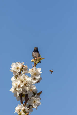 Hummingbird Perched on a Flowering Fruit Tree