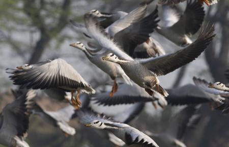 Flock of Bar headed goose Imagens - 106334778