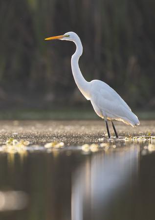 The Great White Egret (Ardea alba) Imagens - 106334780