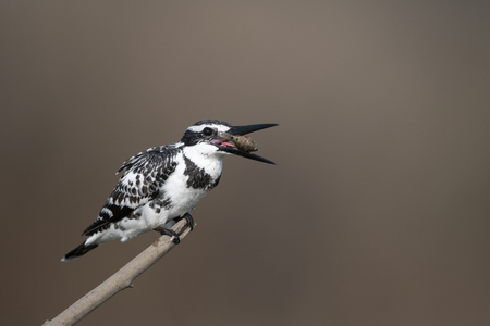 Pied Kingfisher (Ceryle rudis) with Fish