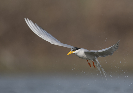 The River tern hunting at sunrise Imagens - 106334783