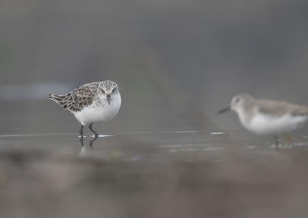 Little Stint in wetland Imagens - 106334786