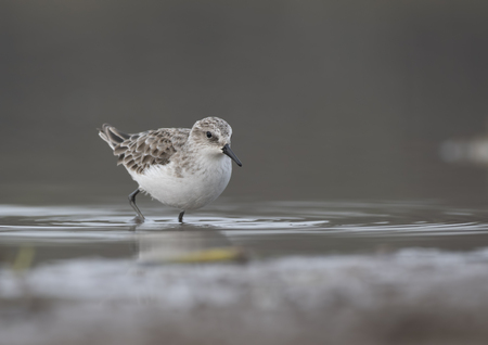Little Stint in wetland during migration to breeding grounds