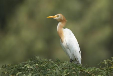 Cattle egret Imagens - 106334796