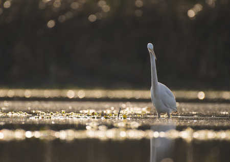 The Great White Egret (Ardea alba) Imagens - 106334802