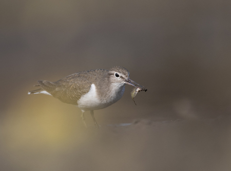 Common sandpiper (Actitis hypoleucos) with fish Imagens