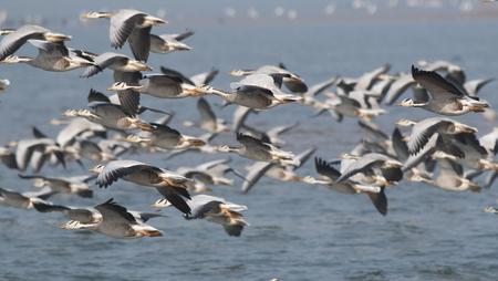 Bar headed goose Flying Imagens - 106334811