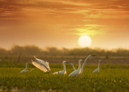 Flock of little egrets at sunrise in wetland Imagens - 106334815