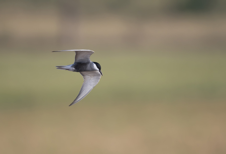 Whiskered tern (Chlidonias hybrida) Imagens - 106334818