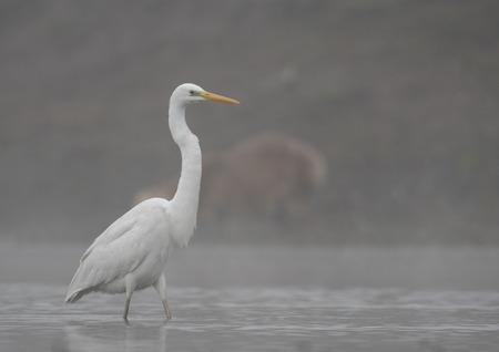 The Great White Egret (Ardea alba) Imagens - 106334825