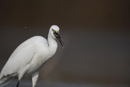 The little egret Imagens - 106334827