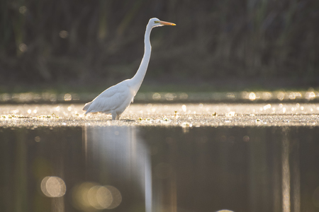 The Great White Egret (Ardea alba) in pond at sunrise