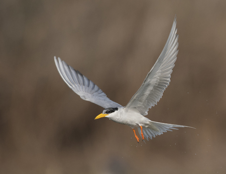 The River tern hunting at sunrise