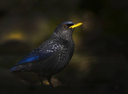 Blue whistling thrush a gorgeous bird in forest in first light 版權商用圖片