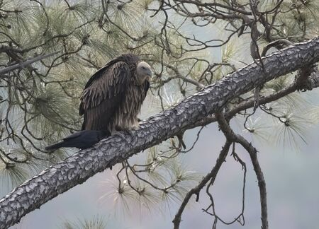 Griffon vulture resting in forest