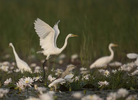 Great Egret in water lily pond Imagens