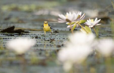 The wagtail and lotus flowers