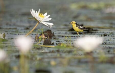 The wagtail and lotus flowers Imagens - 131970677