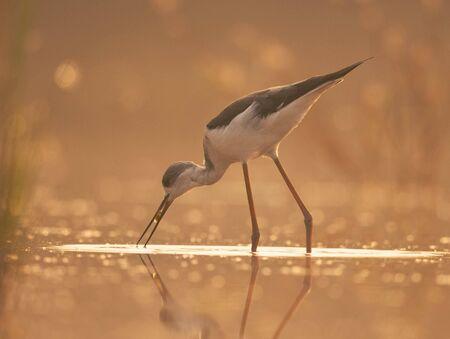 Black-winged Stilt feeding at sunrise Imagens - 131970451