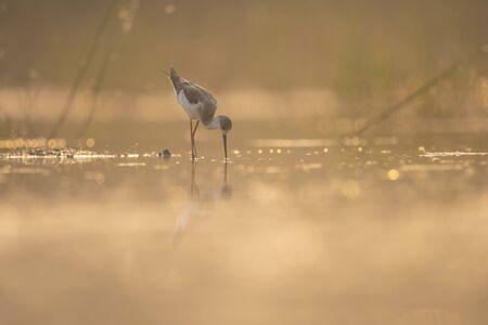 Black-winged Stilt feeding at sunrise Imagens - 131971062