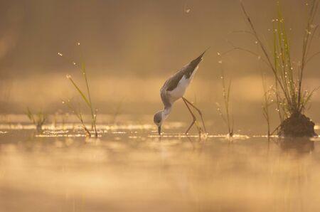 Black-winged Stilt feeding at sunrise Imagens - 131970811