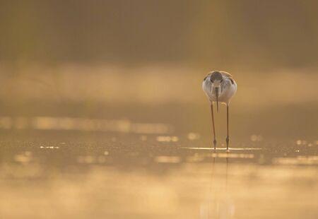 Black-winged Stilt feeding at sunrise Imagens - 131970373