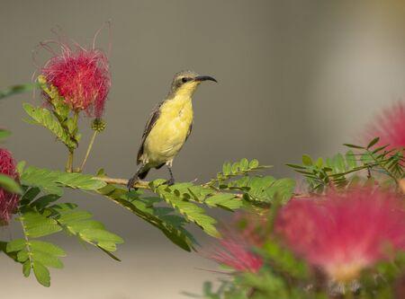 Purple Sunbird (Nectarinia asiatica) Imagens - 131970729