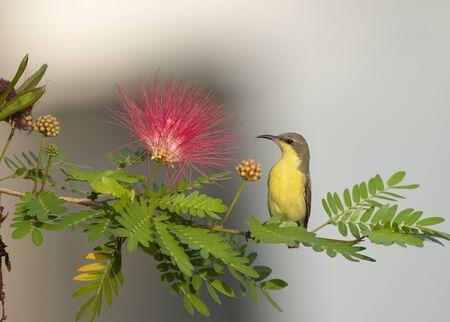 Purple Sunbird (Nectarinia asiatica) on perch Imagens - 131970701