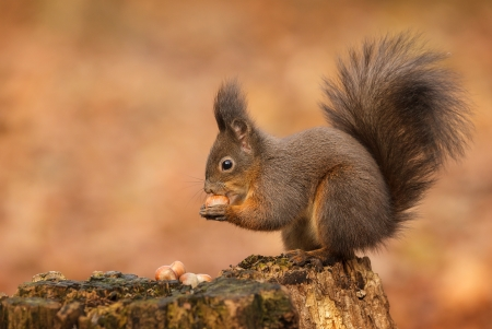 Red squirrel taking hazel nuts from an old rotten tree stump