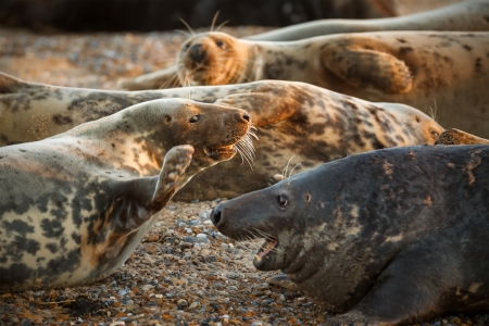attentions: Female grey seal fending off the attentions of the male in the sunset light of Blakeney, Norfolk