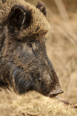 Wild boar foraging in Bavarian woodland, close-up of wild, free running animal Standard-Bild