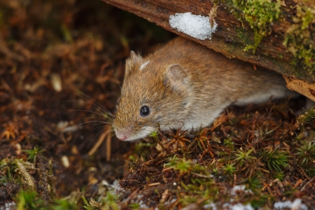 vole: A field vole forages on the forest floor Stock Photo