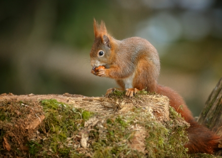 Red squirrel, Sciurus vulgaris, working on a hazelnut