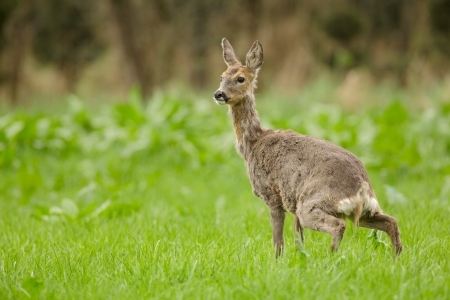 wildllife: Wild roe deer during the spring moult, urinating in lush green meadow Stock Photo